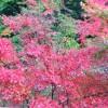 高知県四万十市西土佐にある黒尊渓谷神殿橋周辺の紅葉を見に行きました