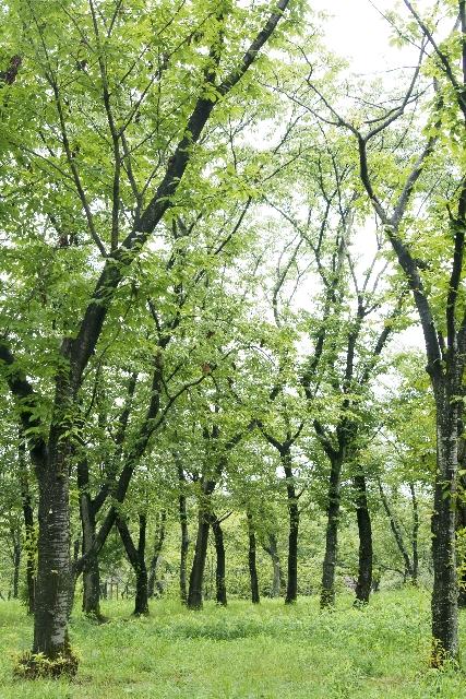 商売繁盛の秘訣はカリンの木と樫の木の2つの木が重要です。