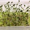 健康効果の大きいブロッコリースプラウトを栽培してみました