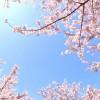 愛南町の桜のお花見、ライトアップされる夜桜は大森山公園の桜まつり