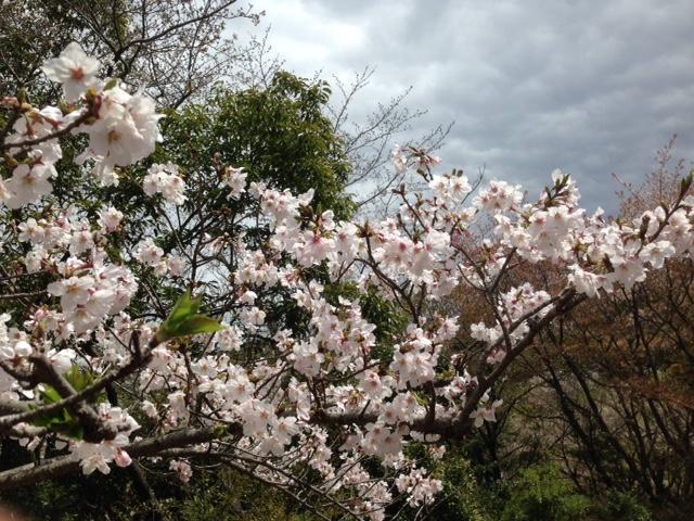 3000本もの桜がある大森山へ家族でお花見に行ってきました